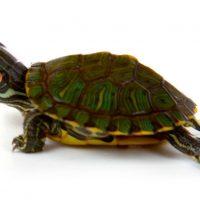 Αγαπητέ φίλε της χελώνας